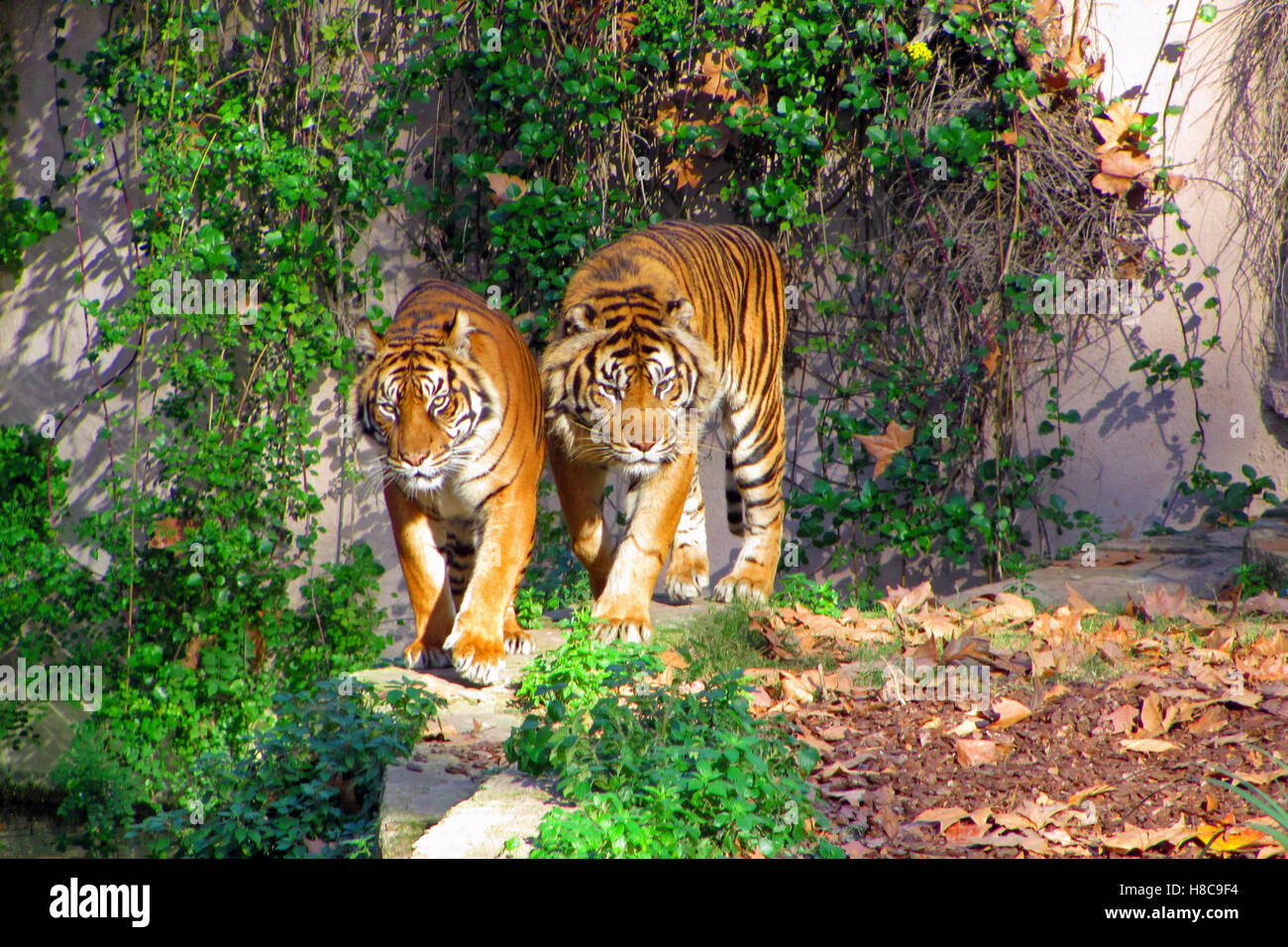 Tigers walking in Barcelona Zoo - Stock Image