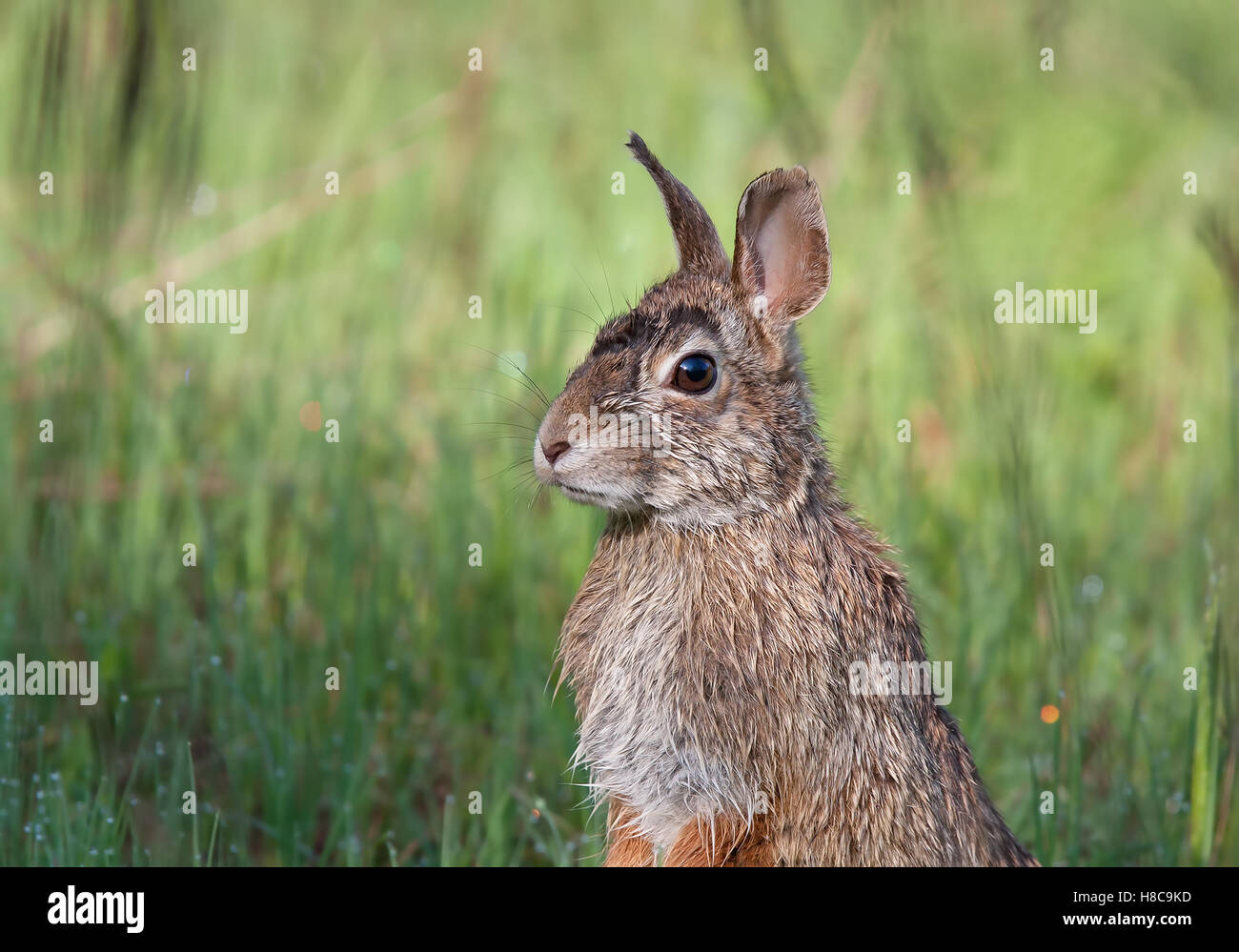Rabbit standing in a spring meadow in Canada - Stock Image