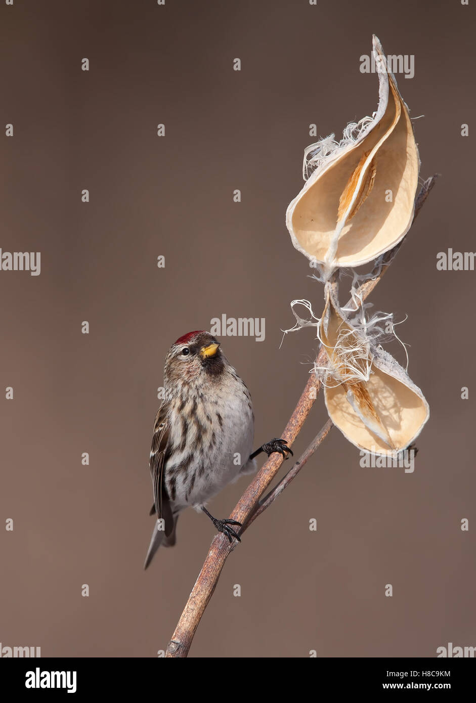 Common Redpoll (Acanthis flammea) perched on milkweed in winter in Canada - Stock Image
