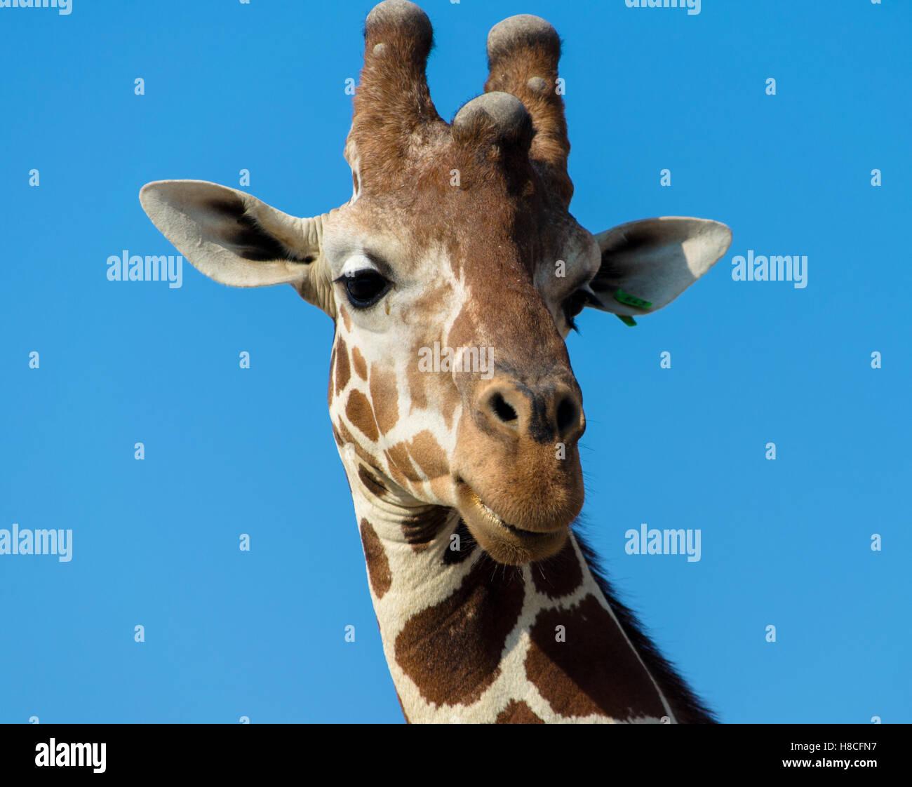 A giraffe portrait - Stock Image