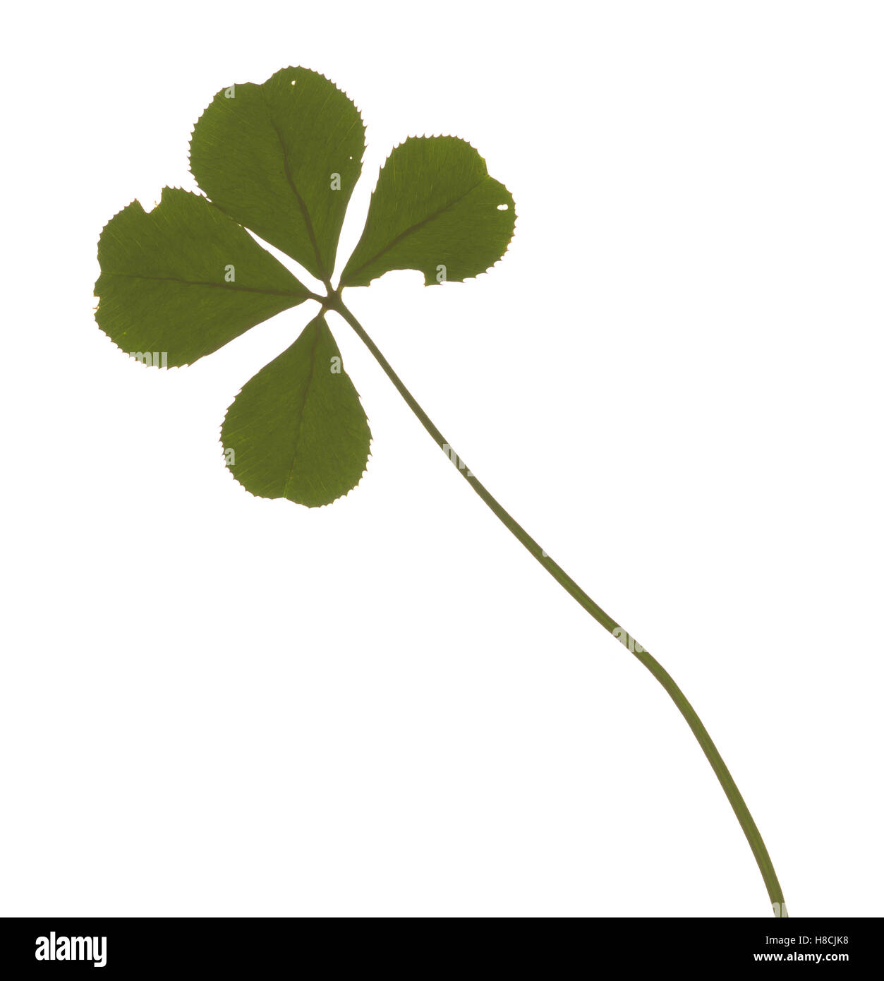 Large four leafed clover, signifier of good luck - Stock Image