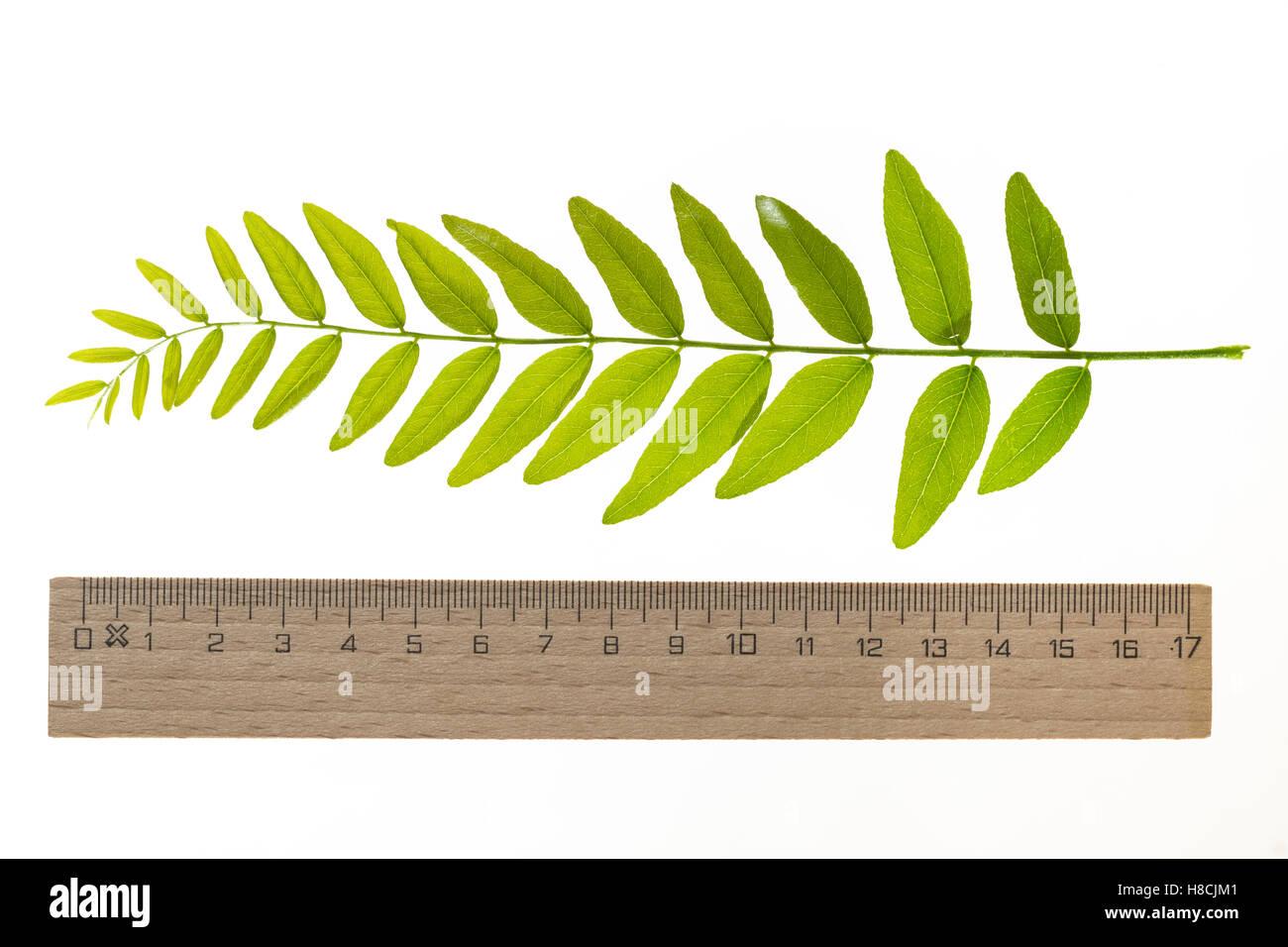 Amerikanische Gleditschie, Gleditsia triacanthos, Lederhülsenbaum, Falscher Christusdorn, honey locust, thorny locust, Stock Photo