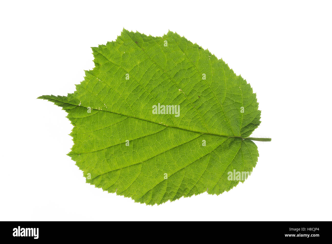Gewöhnliche Hasel, Haselnuß, Haselnuss, Corylus avellana, Cob, Hazel, Coudrier, Noisetier commun. Blatt, - Stock Image