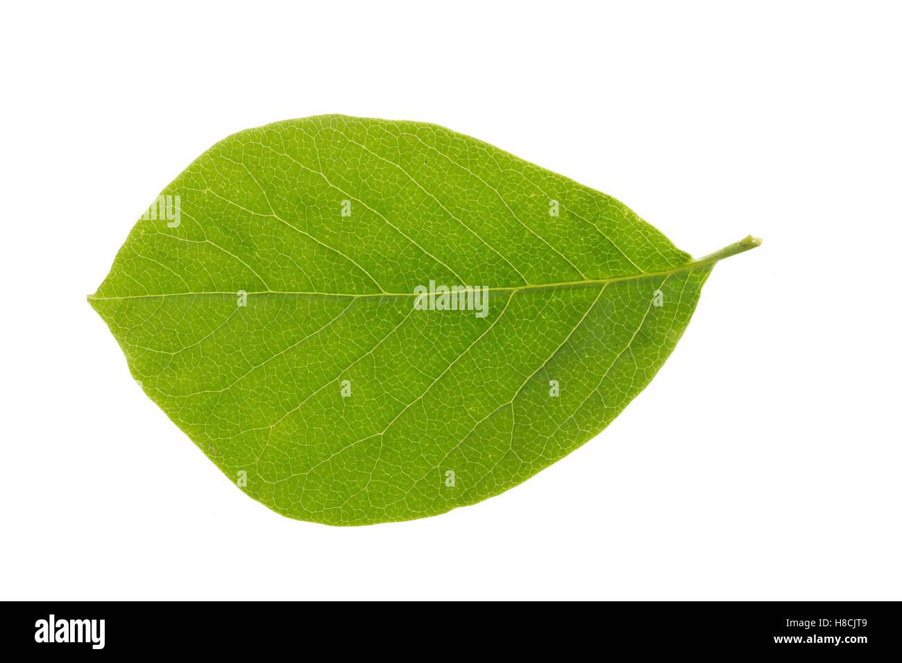 Magnolie, Yulan-Magnolie, Magnolien, Magnolia denudata, lilytree, Yulan magnolia, Magnolia Yulan. Blatt, Blätter, Stock Photo