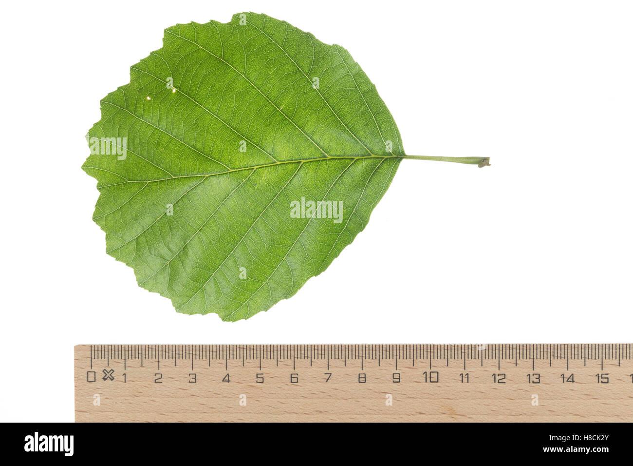 Schwarz-Erle, Schwarzerle, Erle, Alnus glutinosa, Common Alder, Aulne glutineux. Blatt, Blätter, leaf, leaves - Stock Image