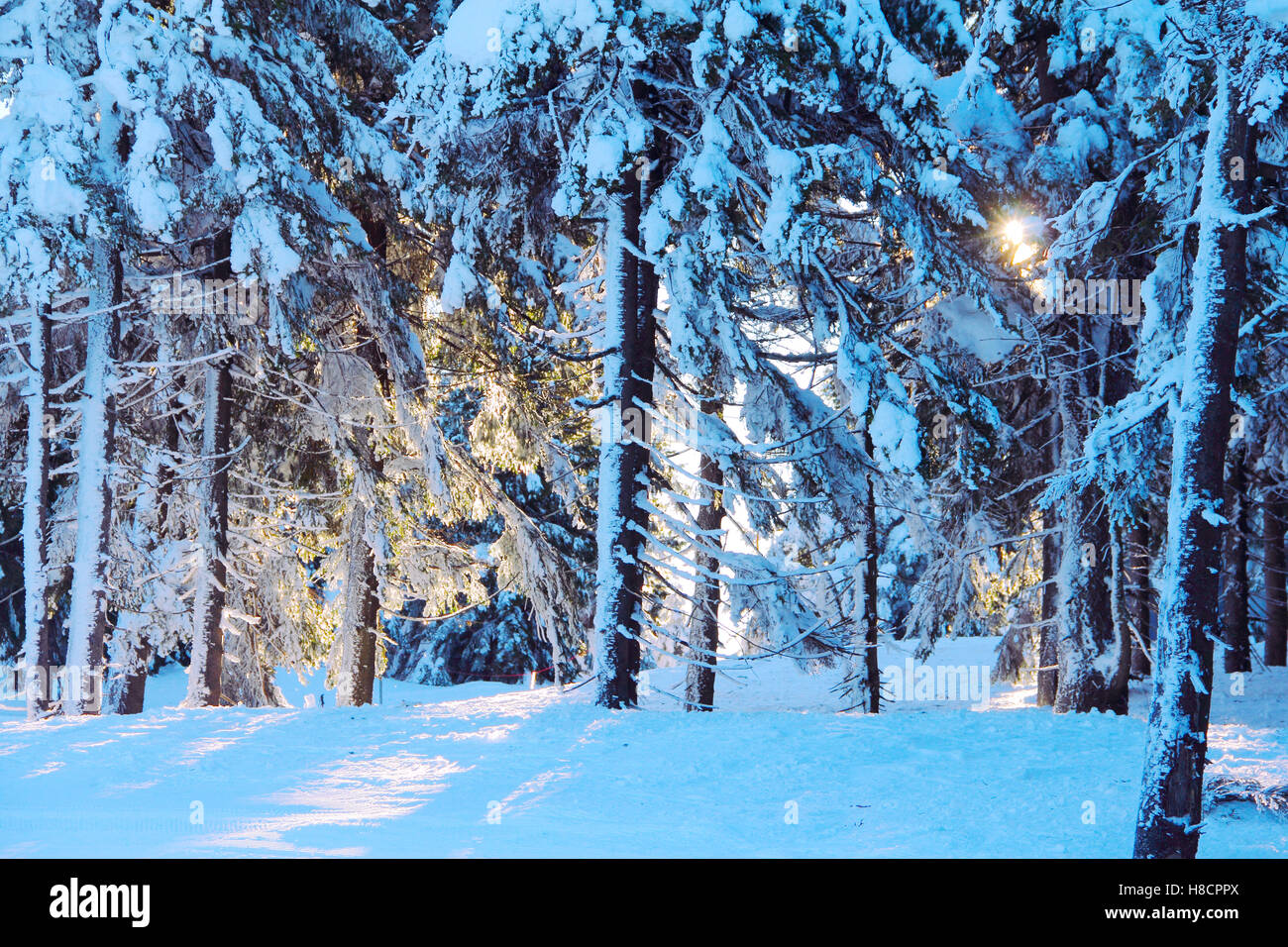 Winter forest on the skiing resort Spindleruv Mlyn, Krkonose, Czech Republic Stock Photo