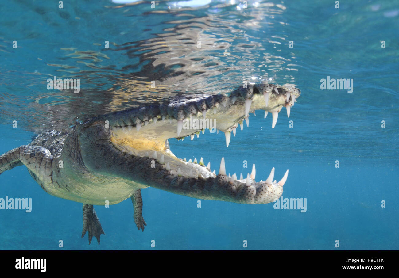 Jardines de la Reina (Gardens of the Queen) is one of Cuba's largest protected area. American crocodile (Crocodylus - Stock Image