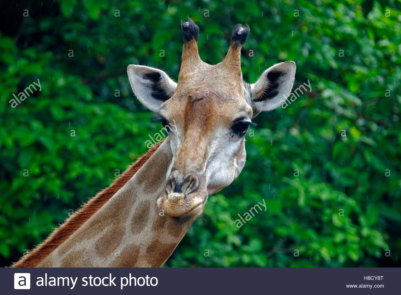 Giraffe head Close up - Stock Image