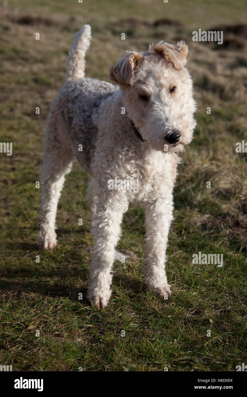 Wirehaired Fox Terrier Photos Wire Center Board Makeriso Pcb Makerprinted Circuit Product On Stock Photo 125675611 Alamy Rh Com Haired Airedale