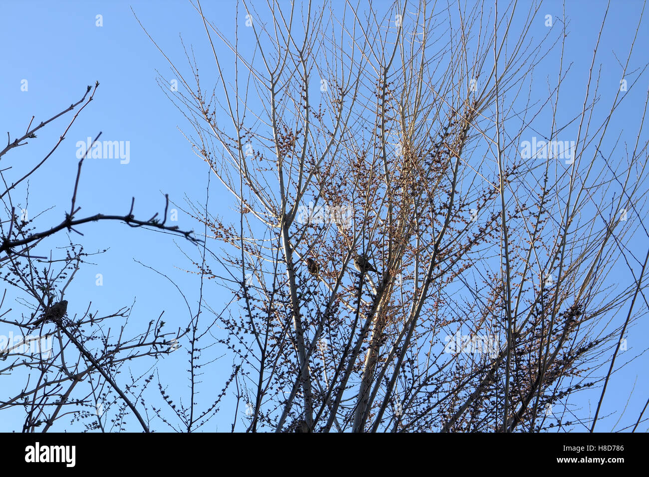 Spring. Sparrows chirp in tree with opened buds. Kyrgyzstan - Stock Image