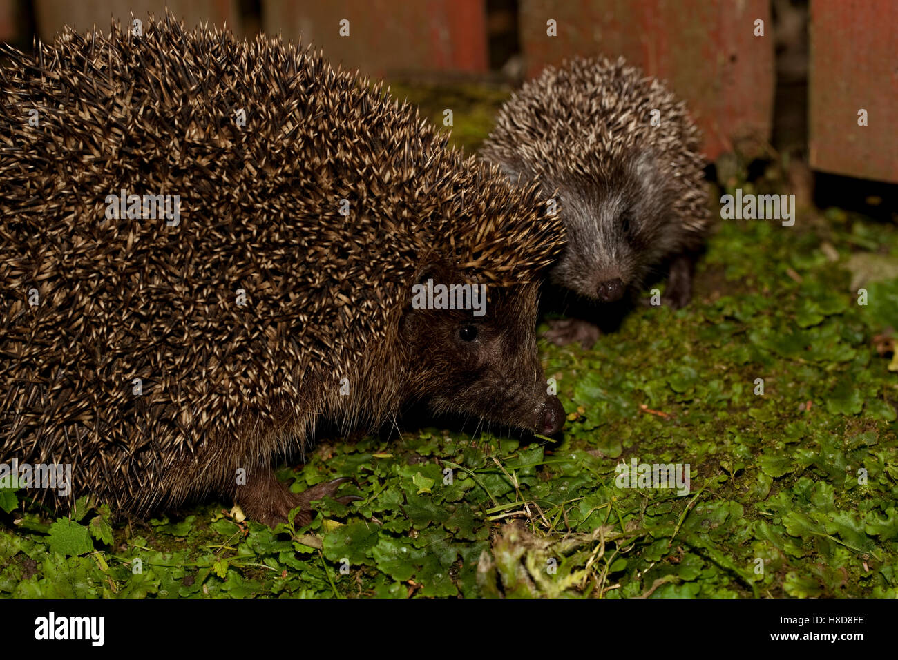 hedgehog female and young sit in garden - Stock Image