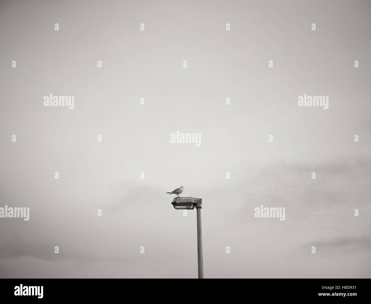 seagull landing sitting on a lamp post / streetlight in black and white - Stock Image