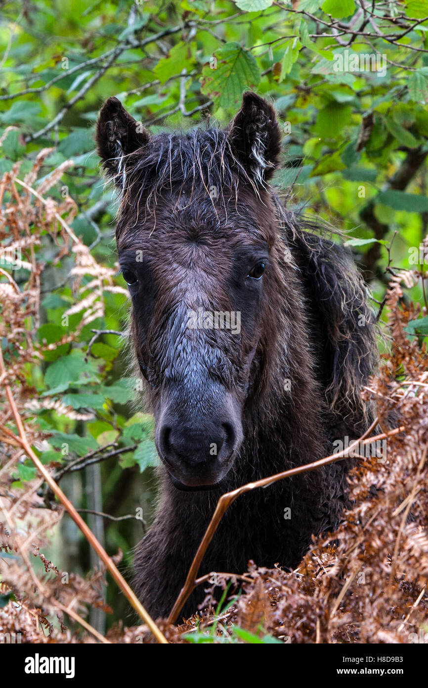 A Dartmoor pony looks miserable sheltering from the rain. - Stock Image