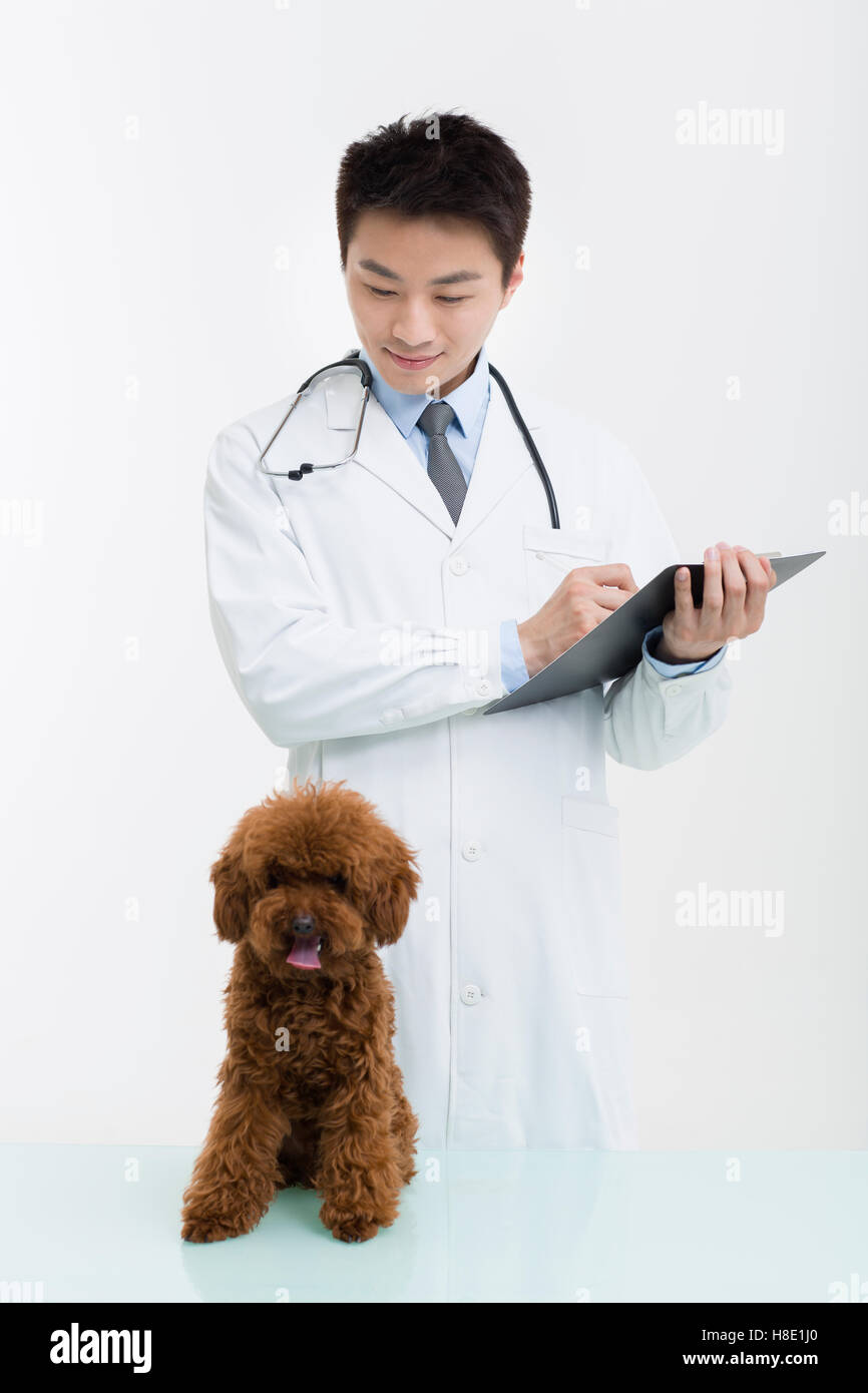 Chinese veterinarian examining a cute poodle - Stock Image