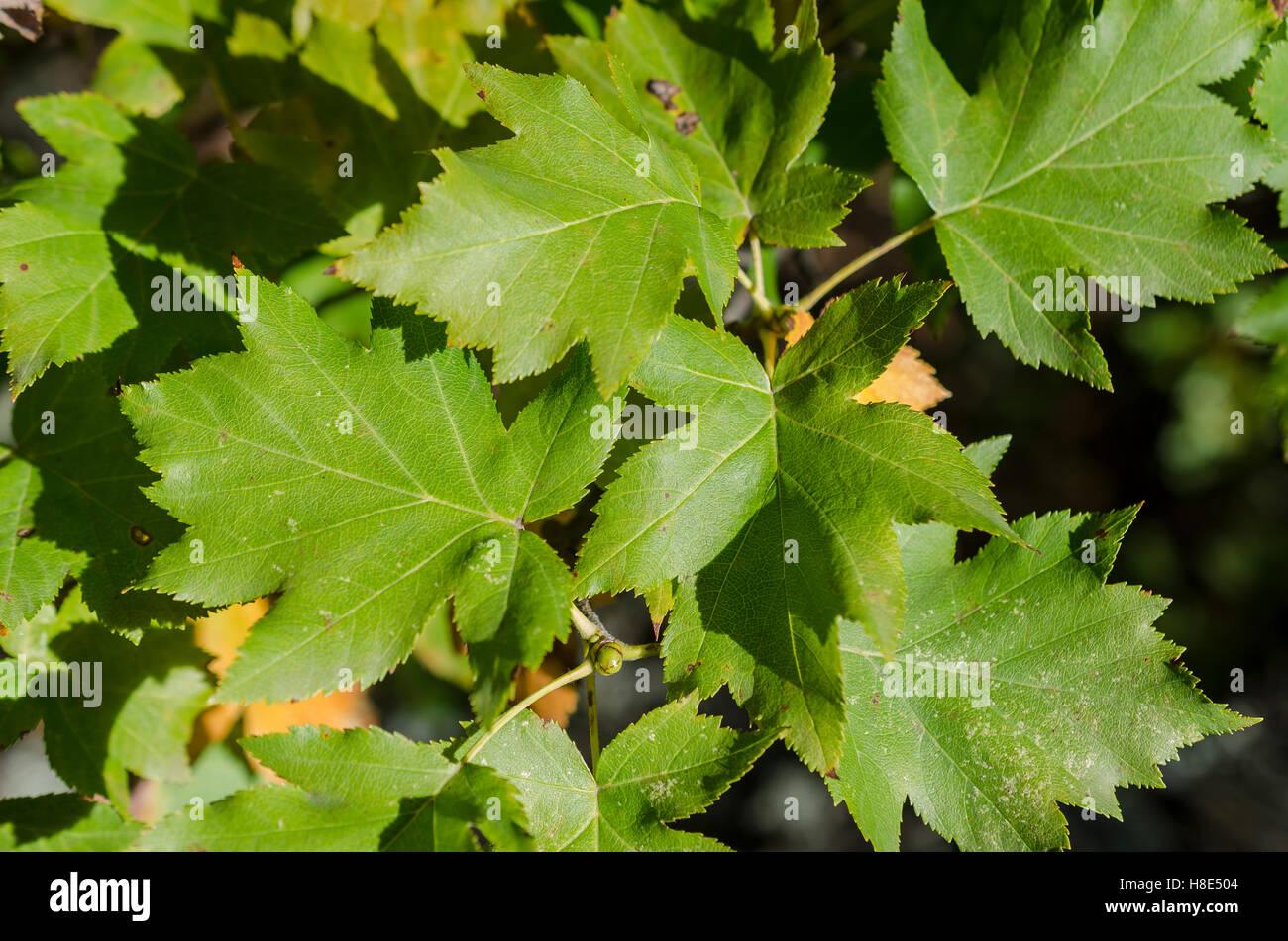 Erable champêtre, Forêt de Sainte Baume, Var, France - Stock Image
