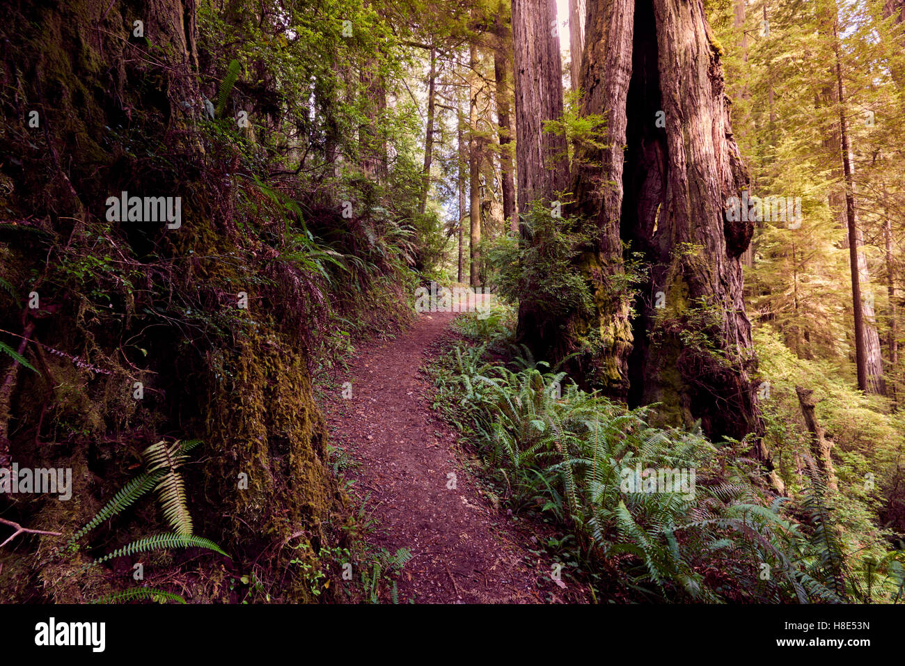Hiking in Redwood National Park in California, along Miner's Ridge trail - Stock Image