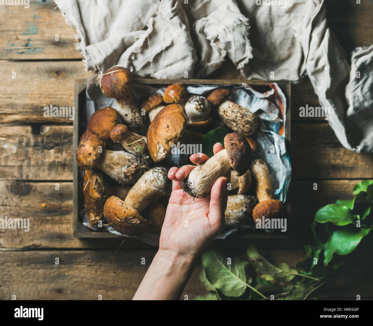Fresh picked Porcini mushrooms in wooden tray over rustic background and woman's hand holding one penny ben, - Stock Image