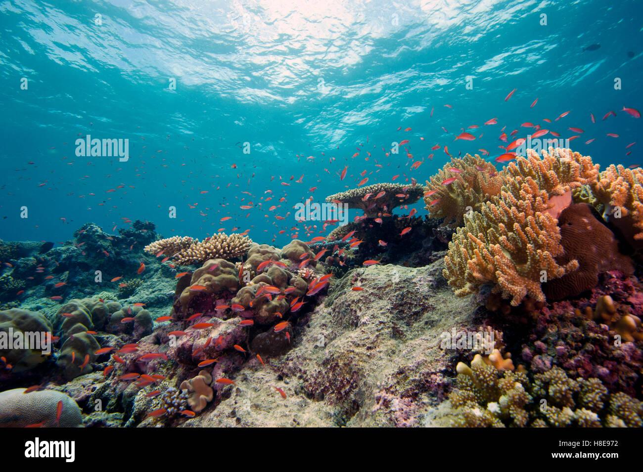Healthy coral reef underwater - Stock Image