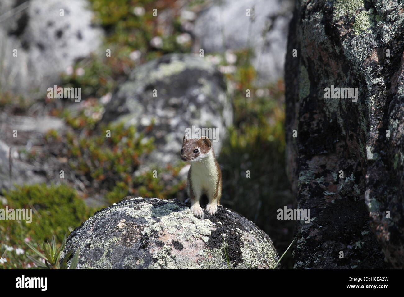 Adorable stoat or short-tailed weasel standing on a rock while hunting - Stock Image