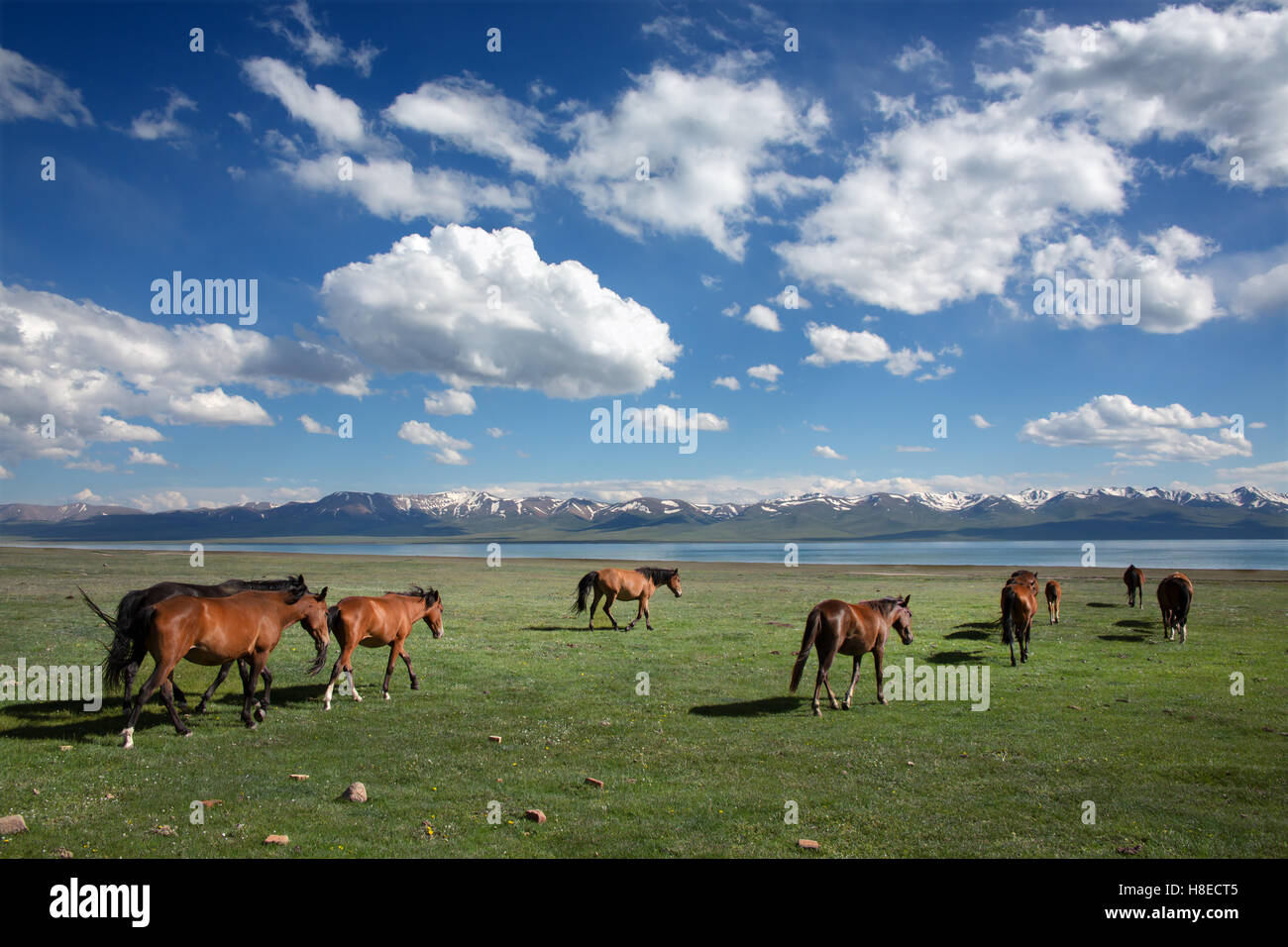 Kyrgyzstan - Horses at Song Kol lake -  Travel people Central Asia - Stock Image