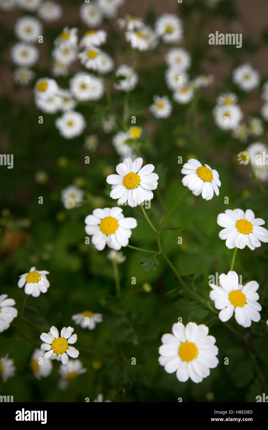 Kyrgyzstan - Typical Marguerite flowers near lake song kol  -  Travel people Central Asia - Stock Image