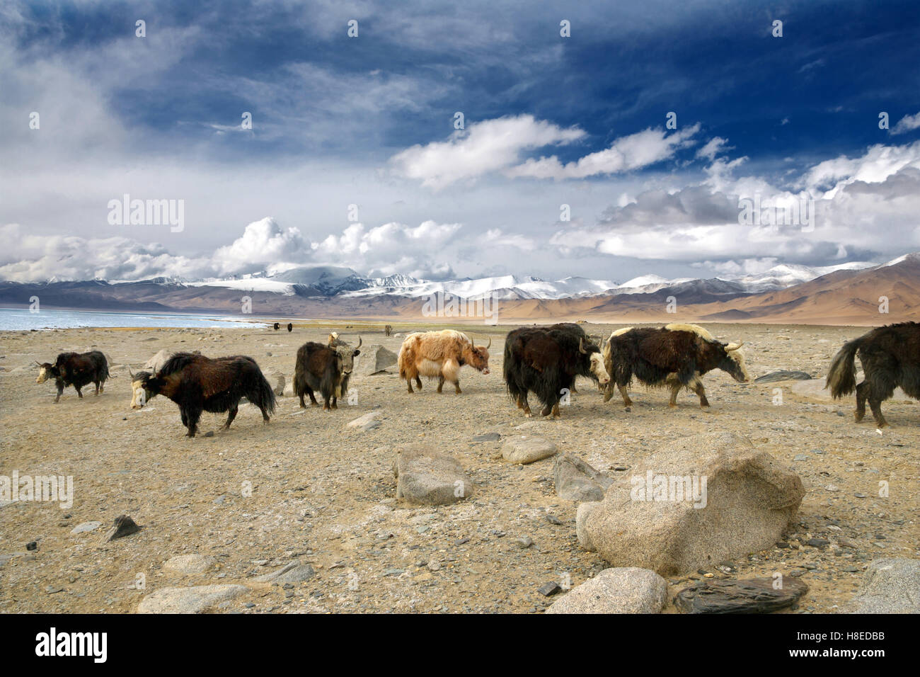 Yaks near Karakul lake in GBAO Tajikistan Pamir - Stock Image