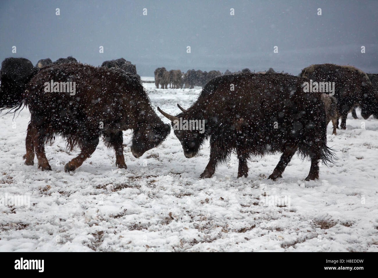 Yaks in the snow  in Bulunkul village, GBAO province, Tajikistan - Stock Image
