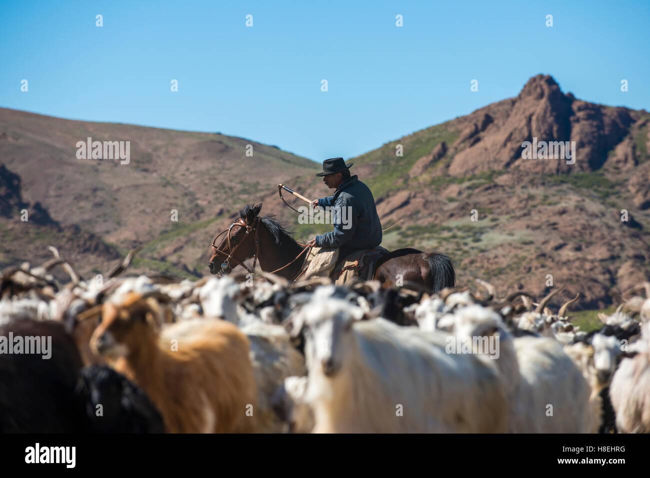 Gaucho on horseback herding goats along Route 40, Argentina, South America - Stock Image