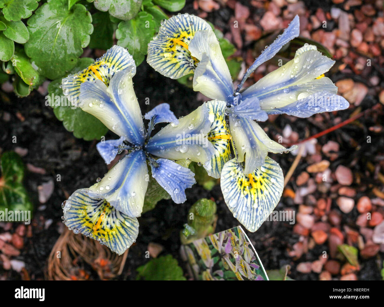Miniature iris stock photos miniature iris stock images alamy the light blue yellow and white flowers of a miniature iris reticulata named katharine hodgkin izmirmasajfo