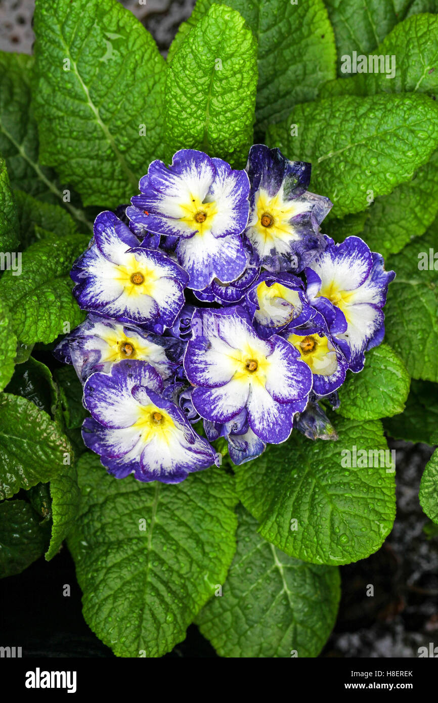 The blue purple and white flowers of a primrose primula vulgaris the blue purple and white flowers of a primrose primula vulgaris flower plant mightylinksfo