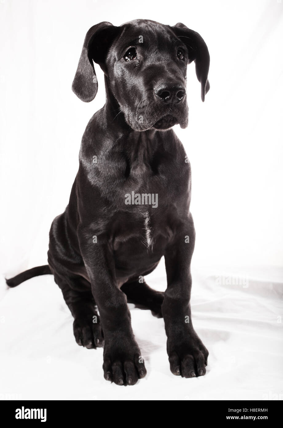 Black Great Dane Puppy Sitting High Resolution Stock Photography And Images Alamy