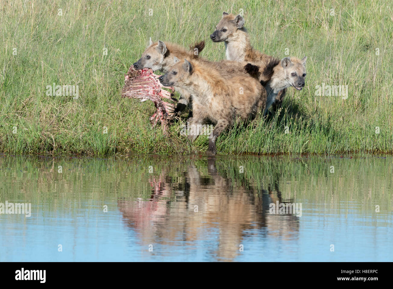 Spotted Hyena (Crocuta crocuta) two adults, fighting for food with reflection in water, Maasai Mara national reserve, - Stock Image