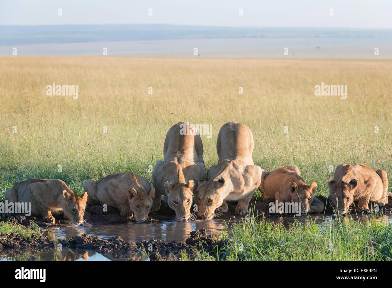 Lion (Panthera leo) pride drinking at a waterhole in the Masai Mara National Reserve, Kenya - Stock Image
