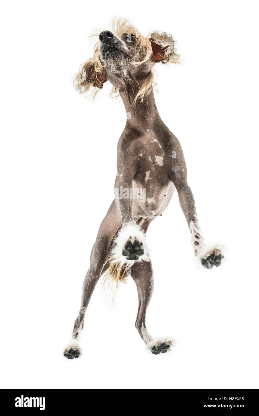 Chinese crested dog in studio - Stock Image