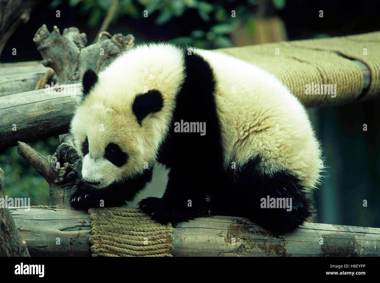 Cute Pandas Cubs