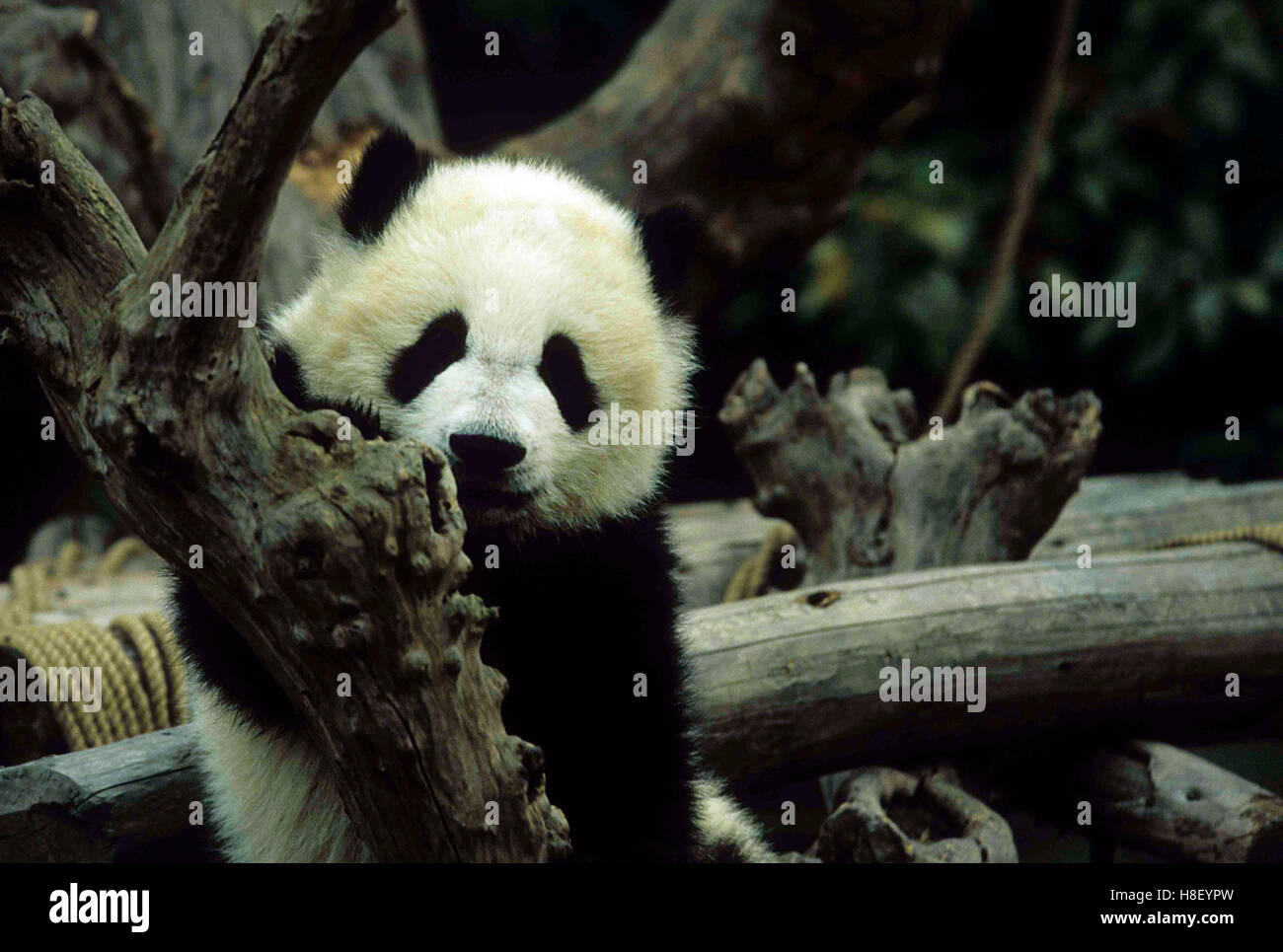 Cute Panda cubs playing in Chengdu's panda base research center. - Stock Image