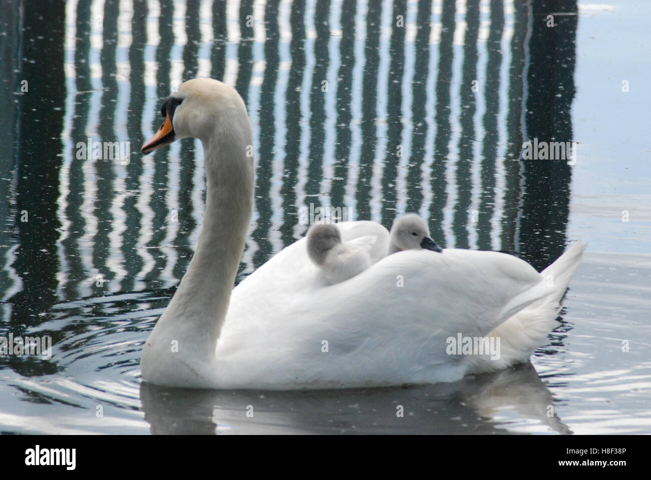 Mute swan (Cygnus olor) with two young cygnets riding on its back - Stock Image