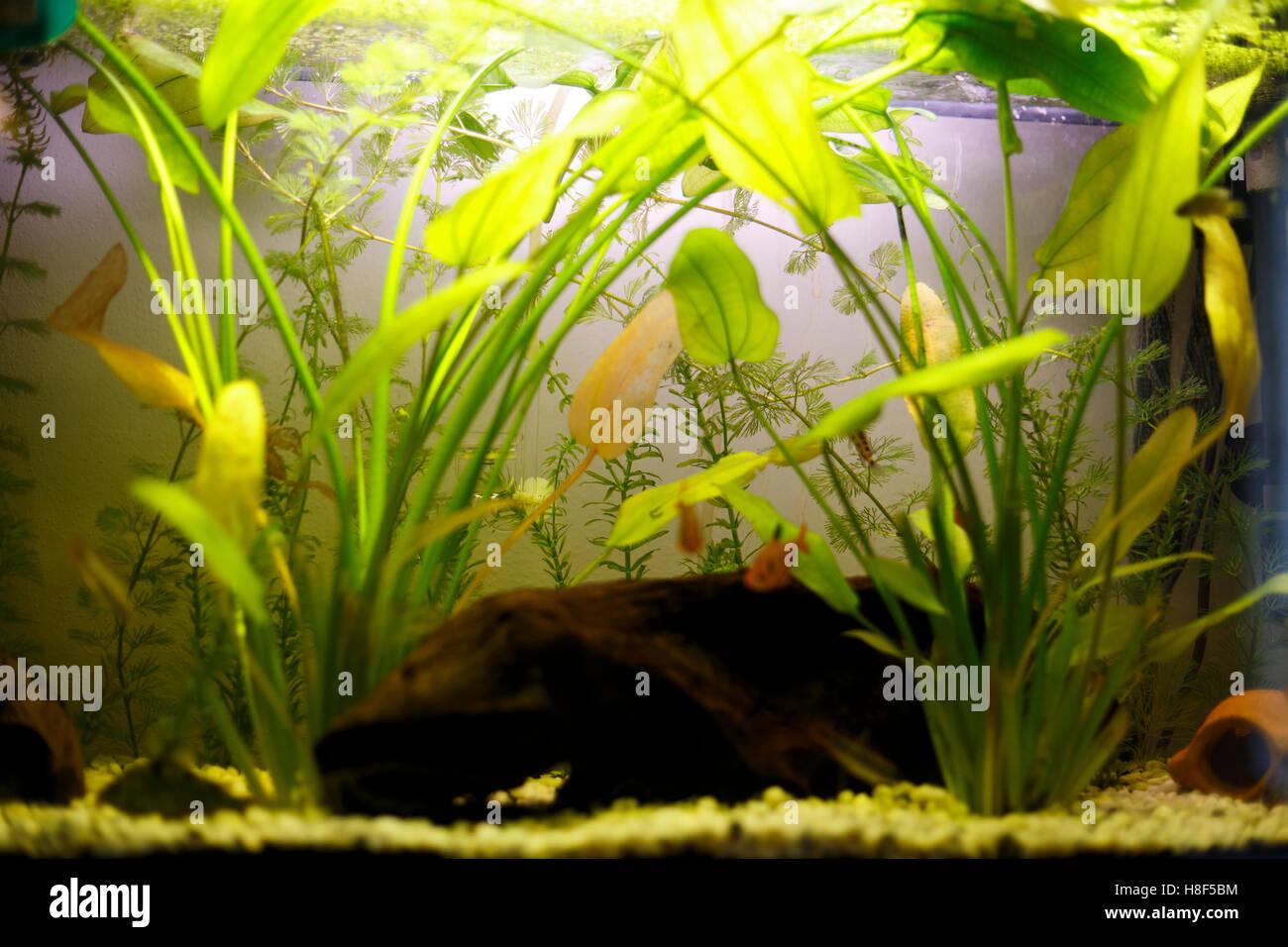Aquarium Plants Stock Photos & Aquarium Plants Stock Images - Alamy