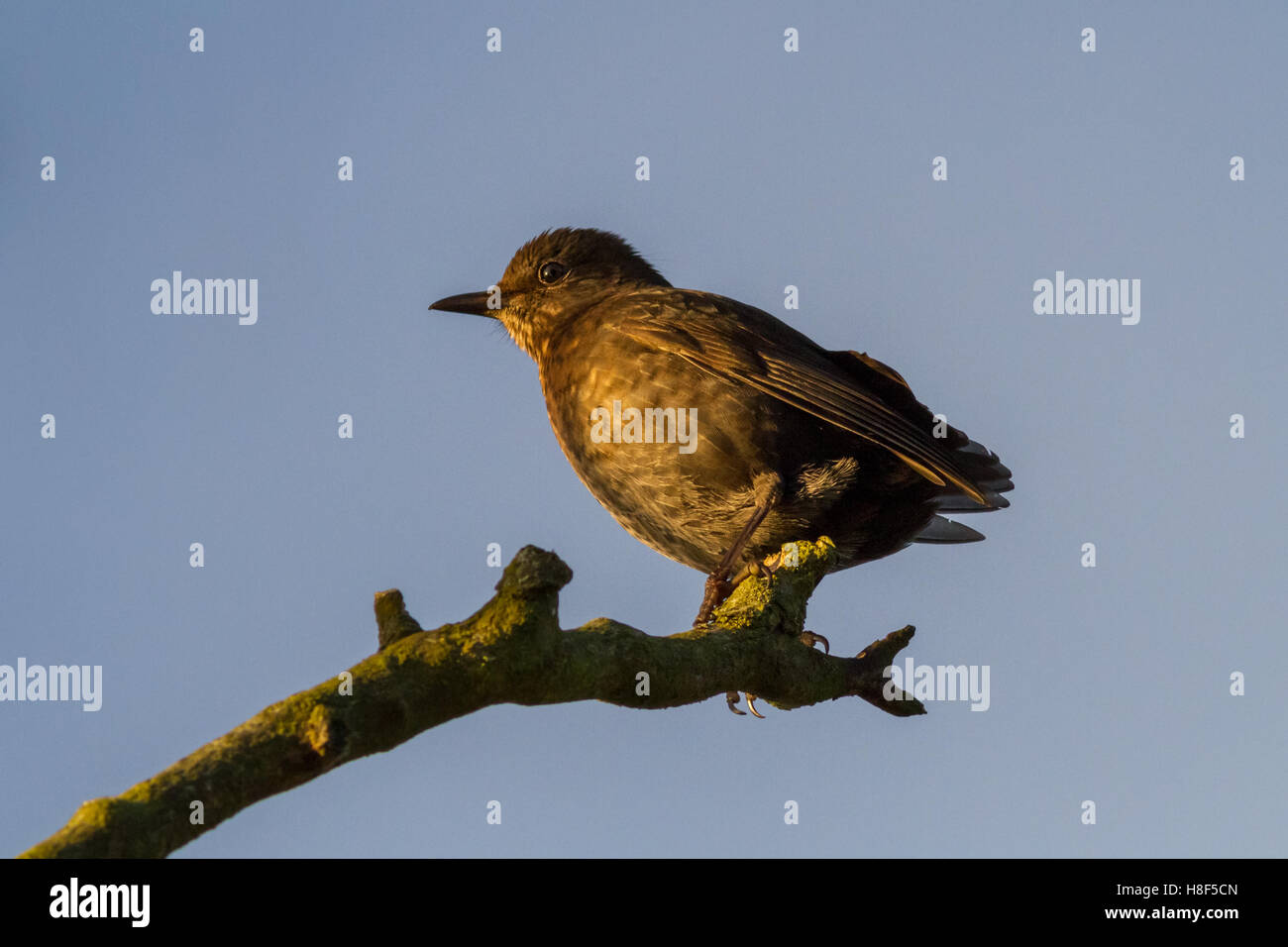 Juvenile blackbird from a late brood (probably a fourth): November, Ilkley, West Yorkshire, England, UK - Stock Image