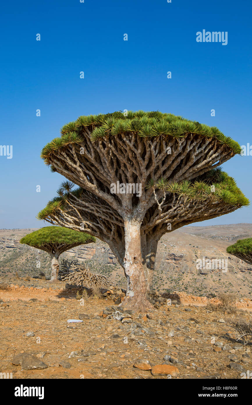 dragon blood tree, dracaena cinnabari, on an island of Socotra - Stock Image