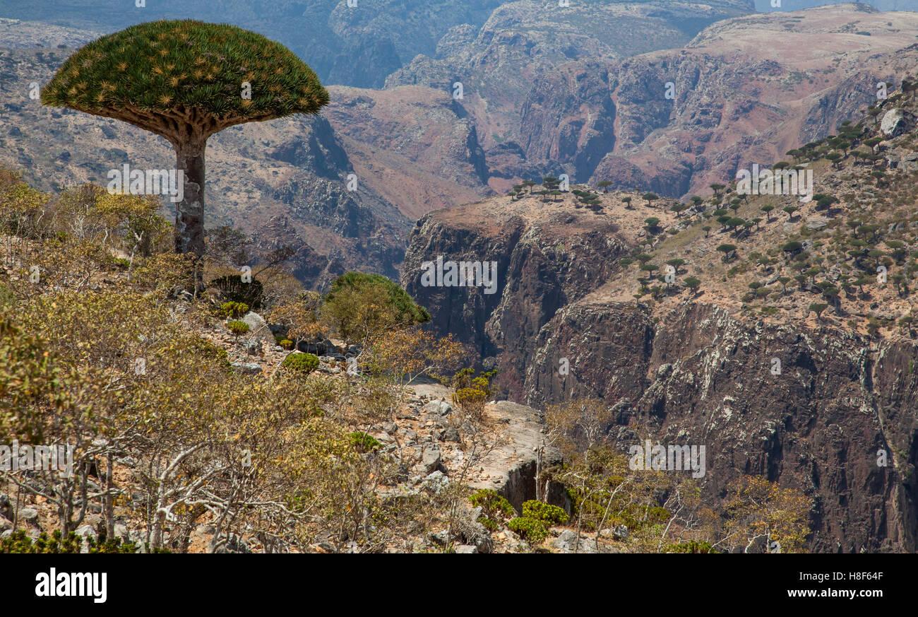 dragon blood tree, dracaena cinnabari, on an island of Socotra, Yemen - Stock Image
