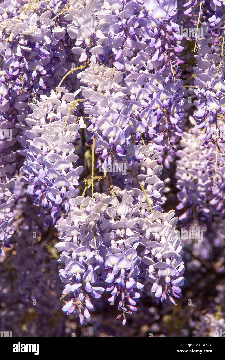 Close up of purple Wisteria Blossoms - Stock Image