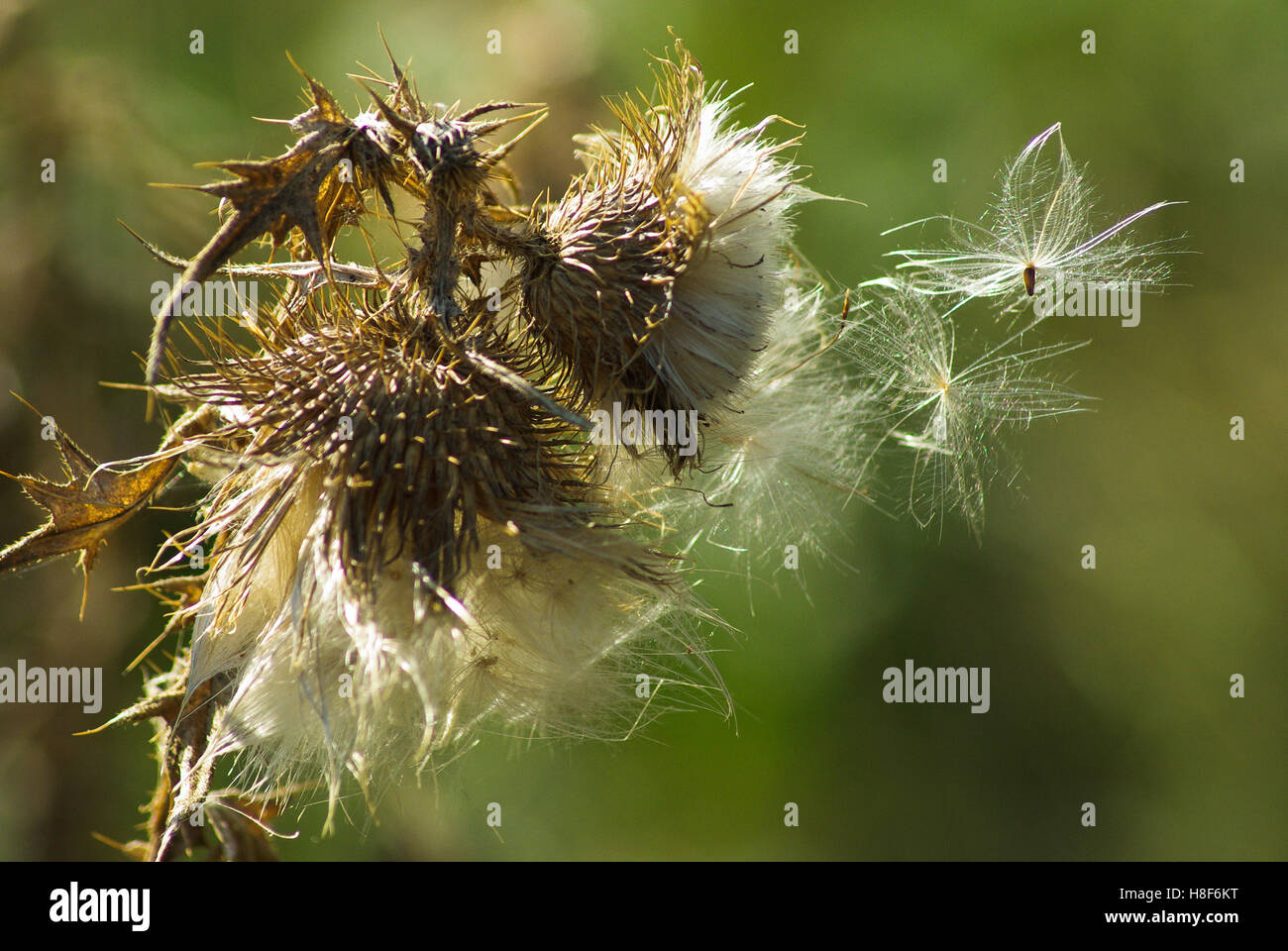 White soft and fluffy thistle seeds on a dried brown flower head white soft and fluffy thistle seeds on a dried brown flower head ready to be carried away by the wind dune vegetation mightylinksfo