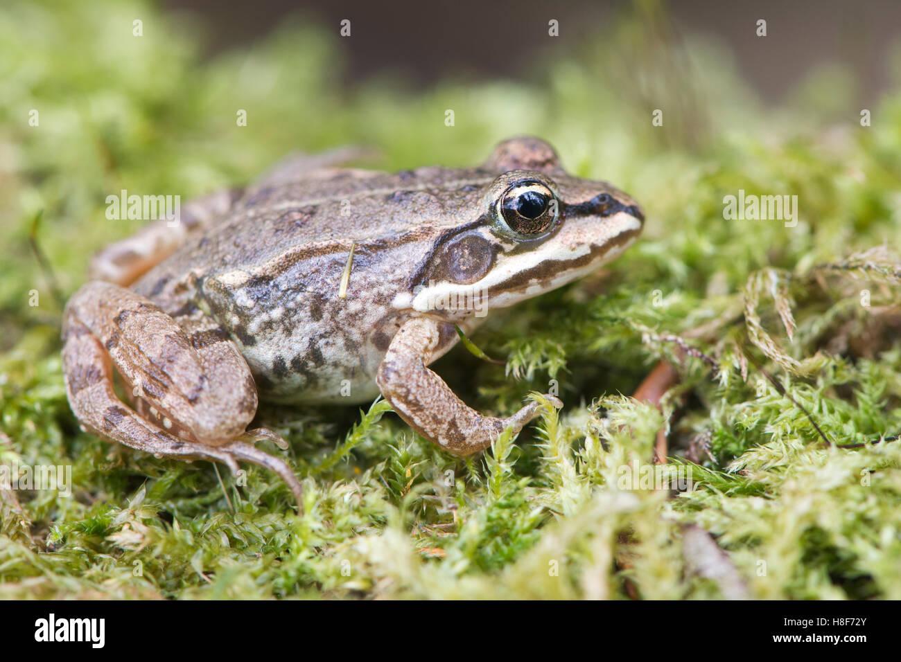 Common Frog (Rana temporaria) in moss, Rhineland-Palatinate, Germany - Stock Image