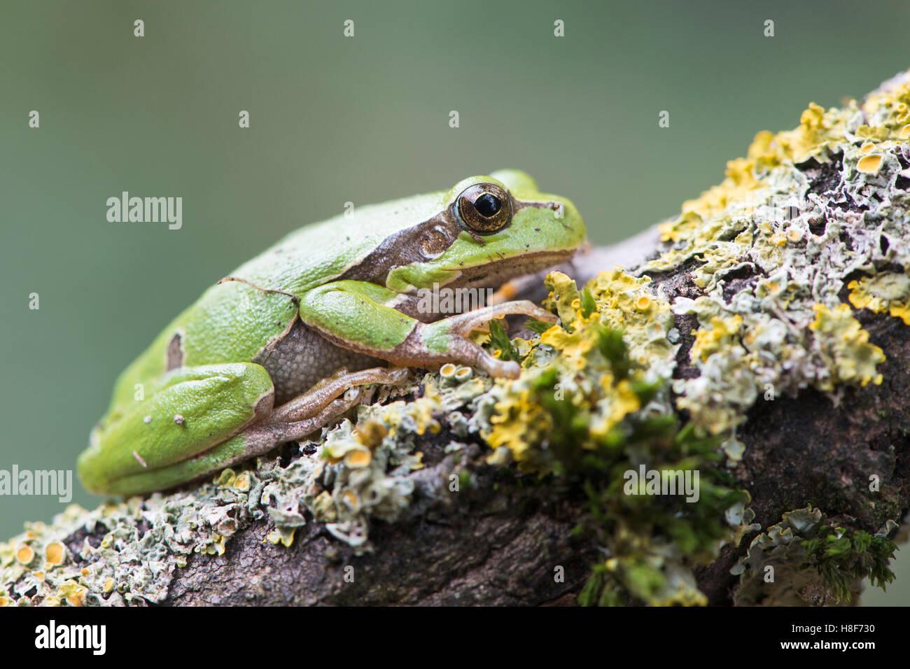 Tree frog (Hyla arborea) on mossy branch, Rhineland-Palatinate, Germany - Stock Image