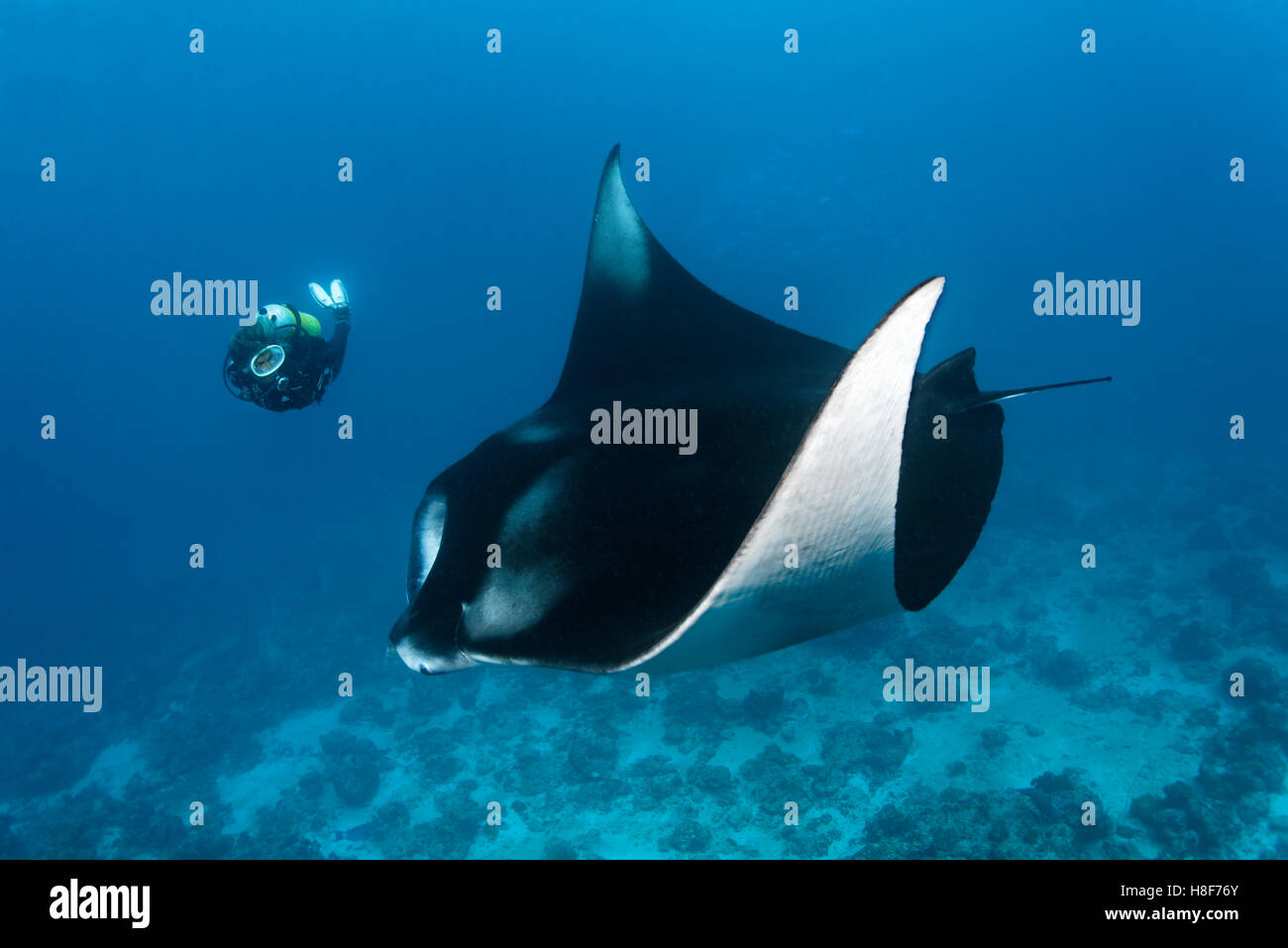 Diver observing reef manta ray (Manta alfredi), Indian Ocean, Maldives - Stock Image