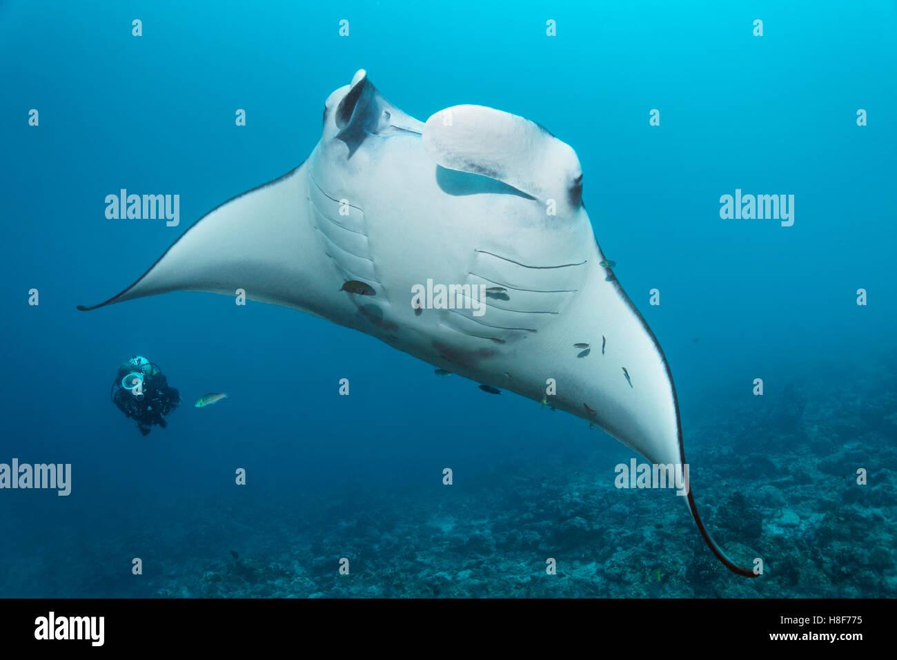 Diver observing reef manta ray (Manta alfredi), coral reef, Indian Ocean, Maldives - Stock Image