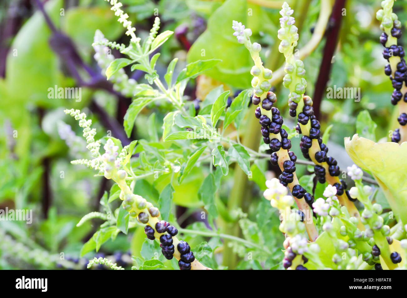Ceylon Spinach plant on the farm Stock Photo