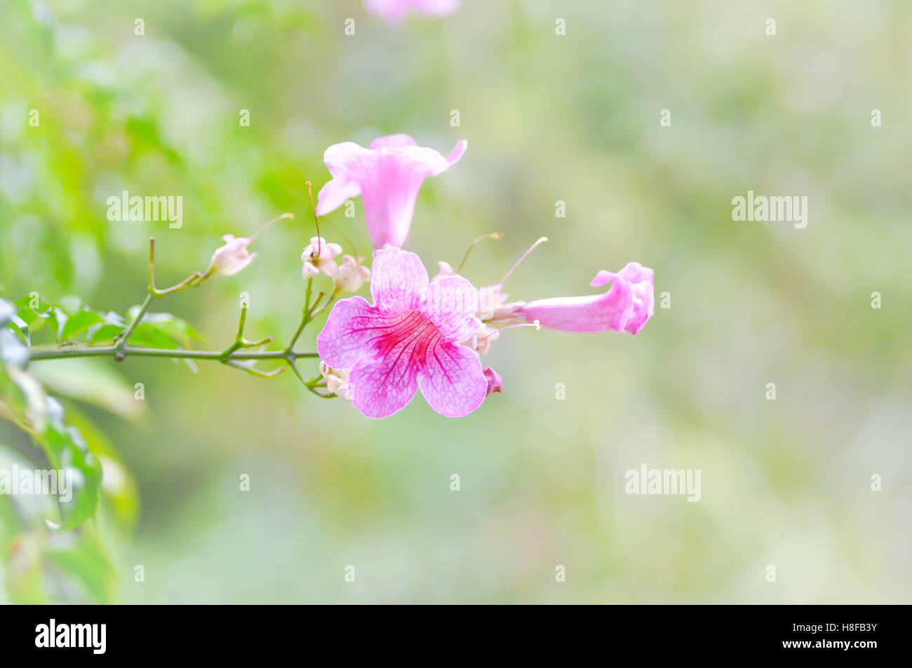 Zimbabwe creeper ,Pink trumpet vine or Trumpet vine flower - Stock Image
