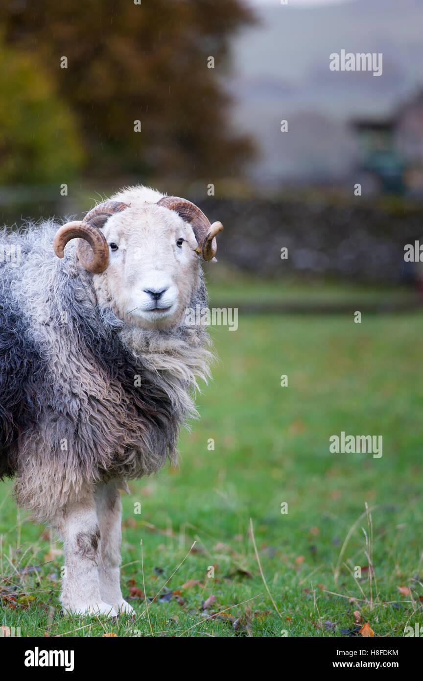 Herdwick ram in field, Autumn. - Stock Image